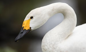 A Bewick's swan (Cygnus columbianus). The lasyt count of the birds showed that the population is starting to grow.