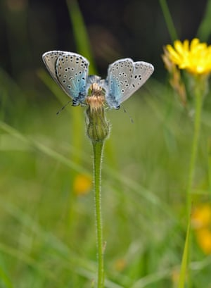 It took butterfly scientists more than a decade to bring back the large blue butterfly.
