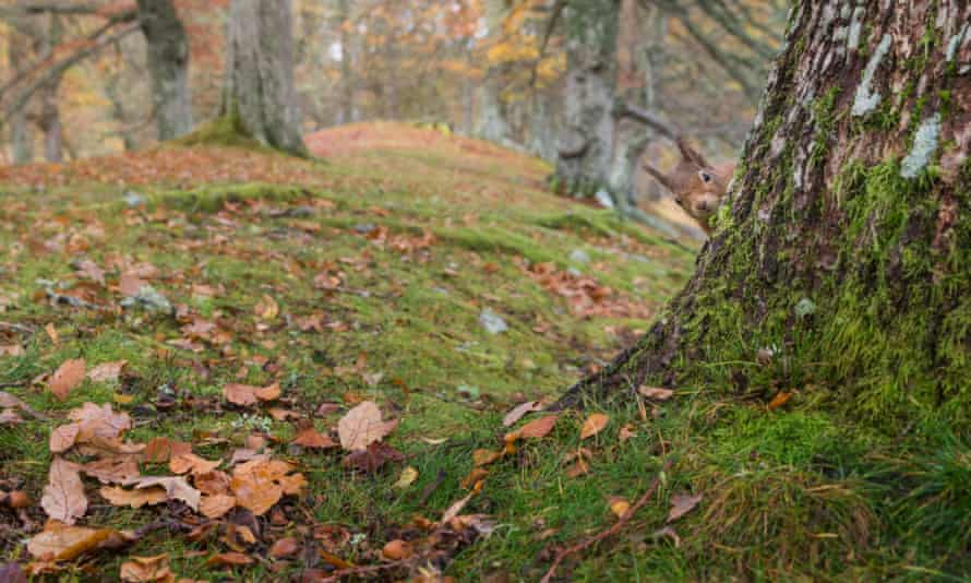 A red squirrel peeks around a tree in the Cairngorms national park, Scotland