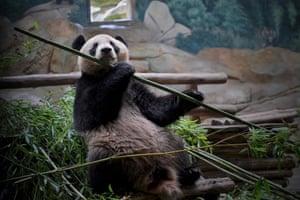 Yuan Meng, a young male panda eats bamboo at the Zoo-Parc de Beauval, France