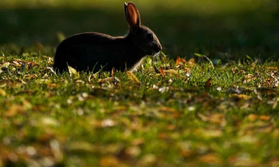 Rabbits face recurring myxomatosis and haemorrhagic disease.