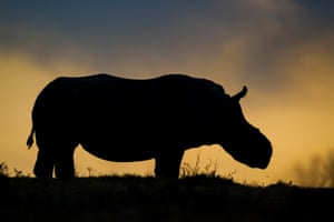 Thandi, the female white rhino who lost her horn to poachers, has become a symbol of survival in the fight against rhino poaching