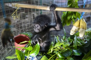 A rescued two month-old siamang, or black-furred gibbon, at a conservation agency in Banda Aceh, Aceh Indonesia.