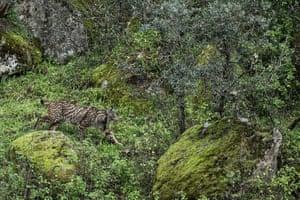 An Iberian lynx in the Sierra de Andújar natural park in Spain