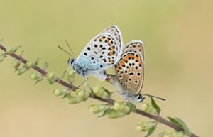 Silver-studded blue butterflies (Plebejus argus) get acquainted on Prees Heath in Shropshire, UK.