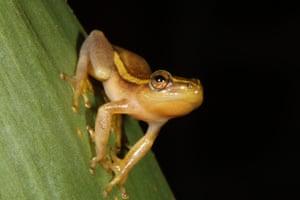Amathole toad