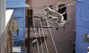 Hanuman langurs swapping treetops for rooftops in Jodhpur, India.