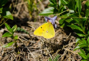 A pale clouded yellow butterfly (Colias hyale) in Andalusia, Spain.