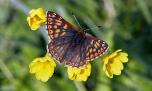 A Duke of Burgundy butterfly on cowslip flowers in Hampshire.