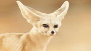 The fennec fox of the Sahara is the tiniest of the wild canines, at about 20cm (8in) tall when fully grown.