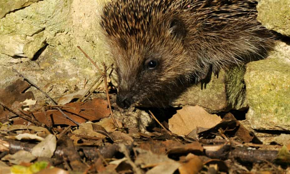 A hedgehog using one of the holes created as part of the hedgehog highway in Kirtlington.
