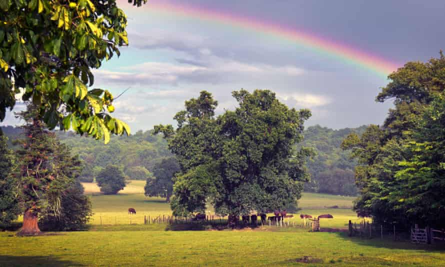Grazing cattle in Kent.