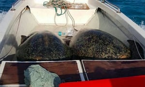 Captured sea turtles in a photo supplied to Australian MP Warren Entsch by Colin Riddell, a conservationist from a group called Animal Coalition.