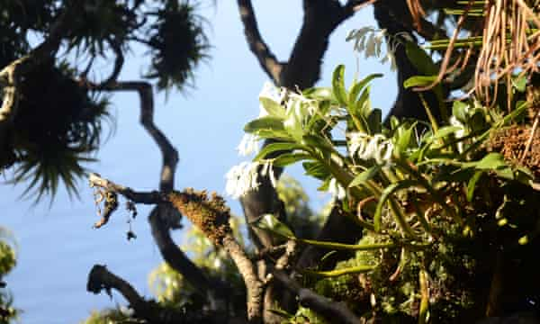 Lord Howe Island travel feature May 2017: orchids at the top of mount Gower