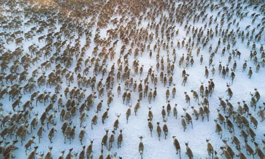 aerial view of reindeer running in a tundra