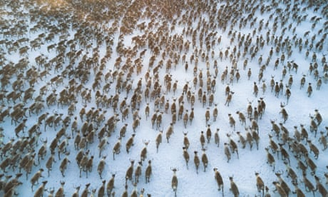 Starvation deaths of 200 reindeer in Arctic caused by climate crisis, say researchers