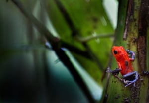 Several frog species carry their tadpoles to safe places. This is not easy when the wild is a huge world for you. This picture shows a strawberry poison-dart frog (Oophaga pumilio) carrying its tadpole and looking for a safe orchid where it can put its new offspring.