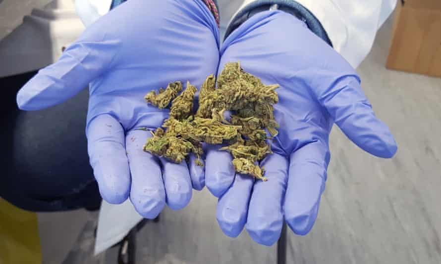 Hands holding skunk cannabis