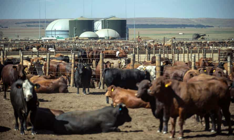 Cattle grazing at a gas power plant where cow manure is used to produce energy near Pretoria, South Africa.