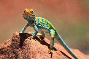 A collared lizard at Dominguez-Escalante, Colorado canyon country