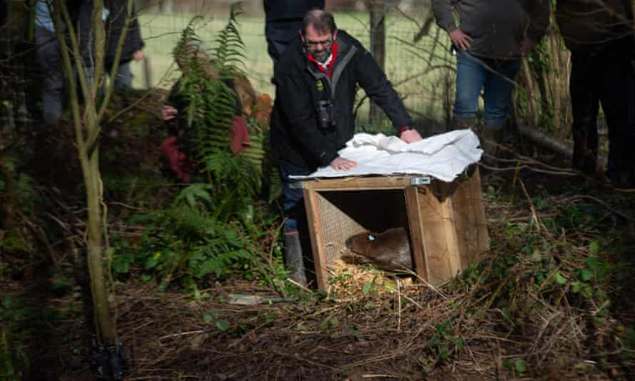 Mark Harold, director of land and a nature for the National Trust, releasing one of the two Eurasian beavers on the Holnicote estate.