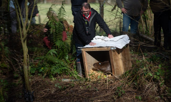 Beavers being released; photograph: Jim Wileman/The Guardian