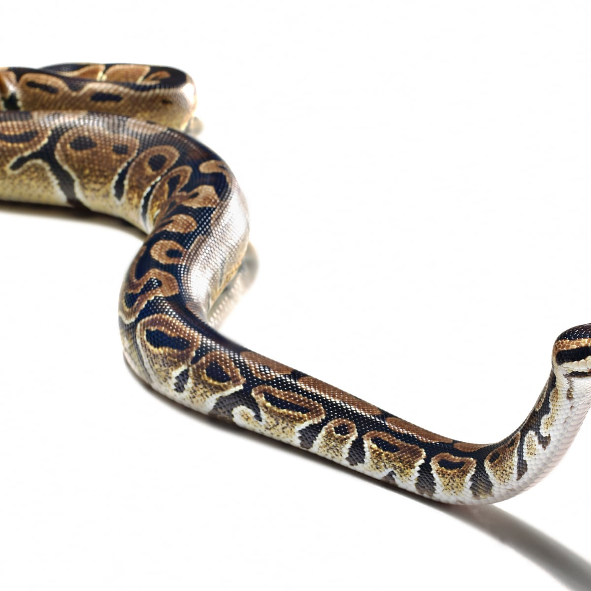 Who Let The Snakes Out And What Should You Do If You Find One In Your Bed Life And Style The Guardian