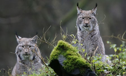 Lynxes in a wildlife park in Hanau, Germany