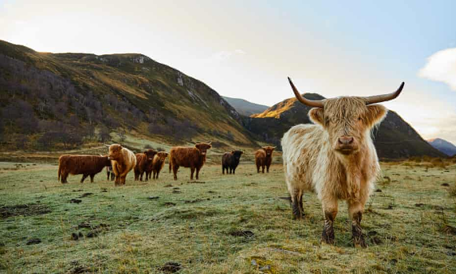 Highland cattle share the wilderness reserve.