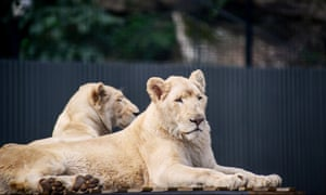 Lions at Shoalhaven zoo on the NSW south coast in Australia