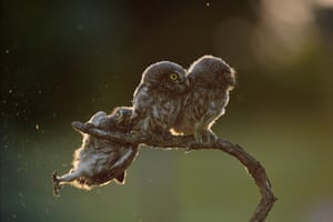 Tibor Kercz's owl scrambling to get back on to the branch