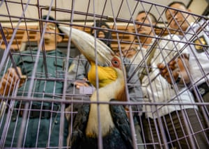 A cage containing a wreathed hornbill, seized by authorities in Sidoarjo, East Java, Indonesia