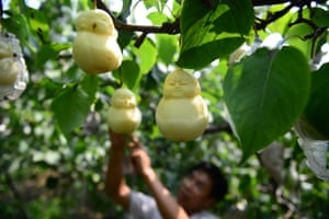 A farmer in the village of Handan, in northern China's Hebei province, has grown Buddha-shaped pears