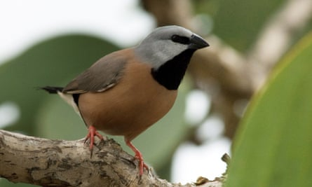A study has found that the 'best-known remaining habitat' for the endangered black-throated finch is at the proposed Carmichael coalmine site in Queensland.