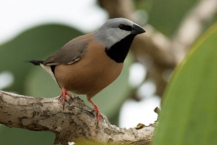 A black-throated finch