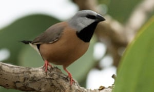 The endangered black-throated finch