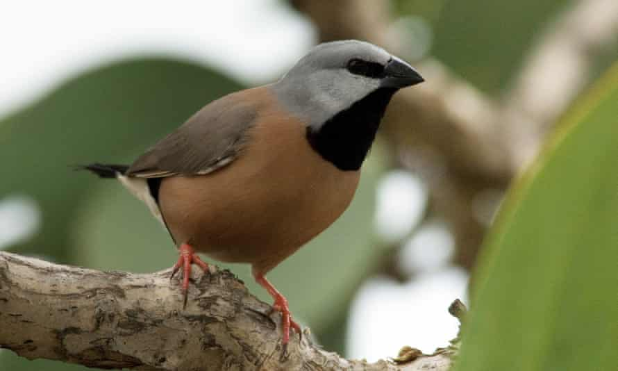 A black-throated finch
