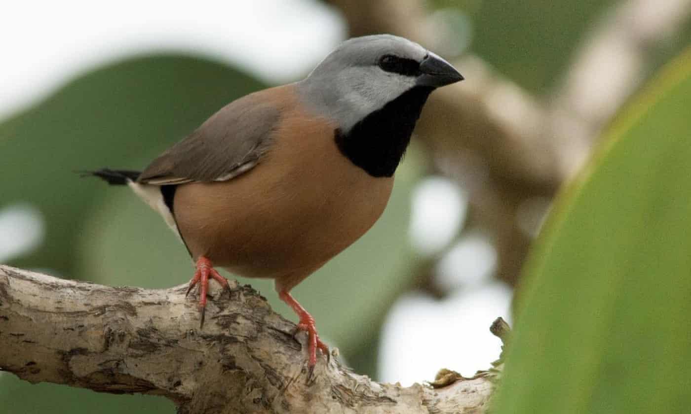 Carmichael mine may push rare bird to extinction, scientists warn Greg Hunt
