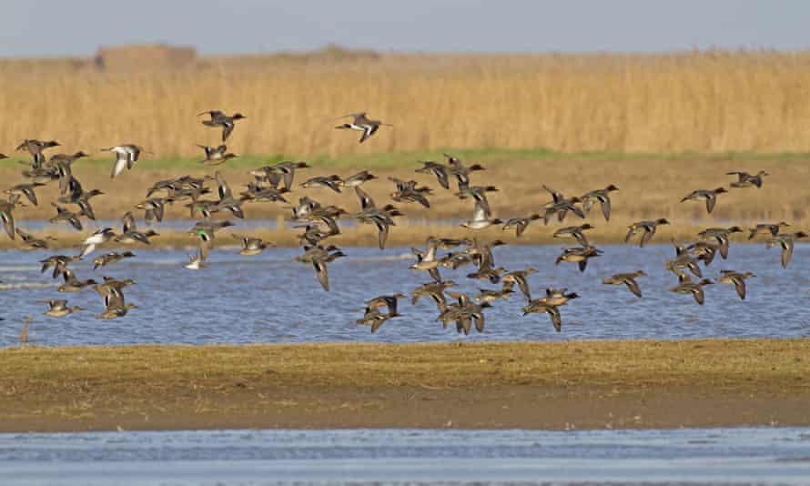 Common teal flock over coastal wetland habitat.
