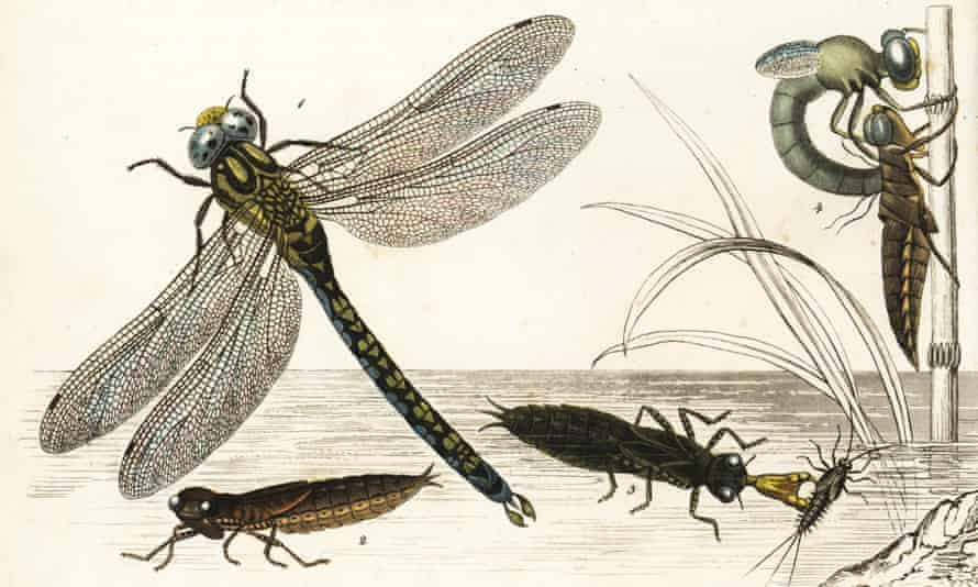 The Southern hawker or blue hawker dragonfly, Aeshna cyanea (Aeschna maculatissima), and brown hawker, Aeshna grandis, nymph, and during metamorphosis.