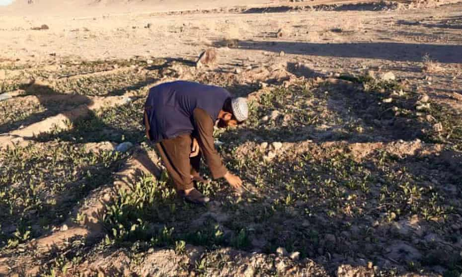 An Afghan farmer cultivates poppy in Helmand, Afghanistan. The country is the world's biggest producer of heroin