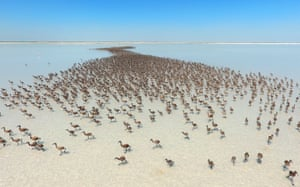 Thousands of flamingo chicks at Lake Tuz in Aksaray, Turkey. The salt lake is home to the biggest flamingo colony in the Mediterranean basin
