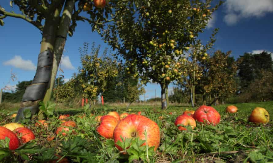 Windfall apples in Hempsall heritage orchard, Nottinghamshire