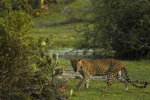 A leopard walks at Yala National Park, some 250 km southwest of Colombo, Sri Lanka.