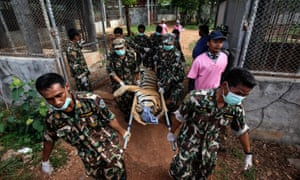 Thai officials carry a sedated tiger on a stretcher