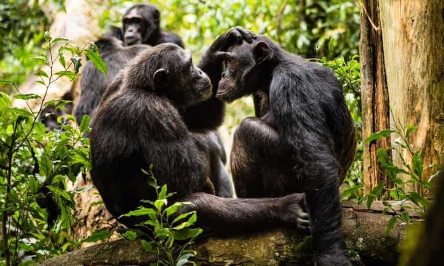 Chimpanzees in a forest, grooming each other
