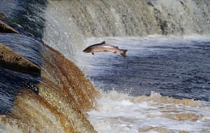 A fish leaps on the weir of the River Tyne in Northumberland as it travels upstream to spawn.