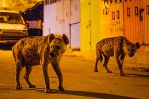 Hyenas in Ethiopia, from the Planet Earth II episode Cities