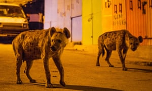 Spotted hyenas in Harar, Ethiopia, on Planet Earth II.