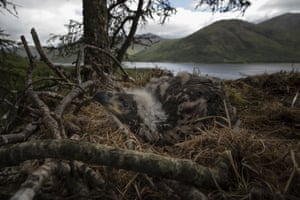 A white-tailed eagle, also known as a sea eagle, chick sits on its nest on the Isle of Mull, Scotland